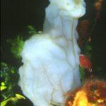 pigna dimare 05 150x150 Phallusia mamillata   Ascidia pigna di mare