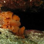 platelminta arancio 10 150x150 Yungia aurantiaca   Platelminta arancio