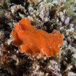 platelminta arancio 14 150x150 Yungia aurantiaca   Platelminta arancio