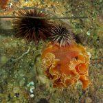 platelminta arancio 27 150x150 Yungia aurantiaca   Platelminta arancio