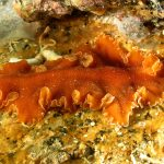 platelminta arancio 30 150x150 Yungia aurantiaca   Platelminta arancio