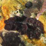 platelminta maggiore 65 150x150 Pseudoceros maximus, Platelminta maggiore