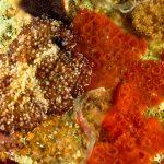 platelminta papillato 102 150x150 Thysanozoon brocchii   Platelminta papillato