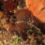 platelminta papillato 104 1 150x150 Thysanozoon brocchii   Platelminta papillato
