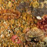 platelminta papillato 107 150x150 Thysanozoon brocchii   Platelminta papillato