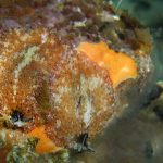 platelminta papillato 13 150x150 Thysanozoon brocchii   Platelminta papillato