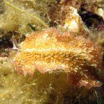 platelminta papillato 19 150x150 Thysanozoon brocchii   Platelminta papillato