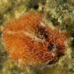 platelminta papillato 61 150x150 Thysanozoon brocchii   Platelminta papillato