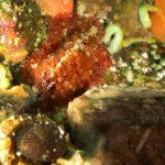 platelminta papillato 84 150x150 Thysanozoon brocchii   Platelminta papillato