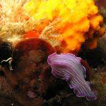 platelminta rosa 05 150x150 Prostheceraeus roseus   Platelminta rosa