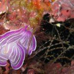 platelminta rosa 11 150x150 Prostheceraeus roseus   Platelminta rosa
