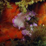 platelminta rosa 12 150x150 Prostheceraeus roseus   Platelminta rosa