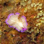platelminta rosa 16 150x150 Prostheceraeus roseus   Platelminta rosa
