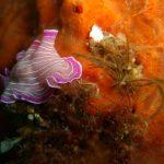 platelminta rosa 17 150x150 Prostheceraeus roseus   Platelminta rosa