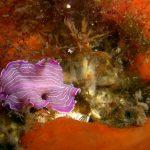 platelminta rosa 19 150x150 Prostheceraeus roseus   Platelminta rosa
