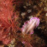 platelminta rosa 25 150x150 Prostheceraeus roseus   Platelminta rosa