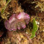 platelminta rosa 32 150x150 Prostheceraeus roseus   Platelminta rosa