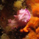 platelminta rosa 35 150x150 Prostheceraeus roseus   Platelminta rosa