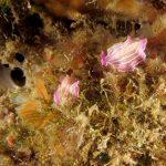 platelminta rosa 52 150x150 Prostheceraeus roseus   Platelminta rosa