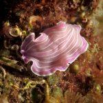 platelminta rosa 58 150x150 Prostheceraeus roseus   Platelminta rosa