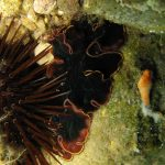 platelminta splendido 03 150x150 Pseudoceros sp.   Platelminta splendido