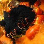 platelminta splendido 08 150x150 Pseudoceros sp.   Platelminta splendido