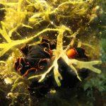 platelminta splendido 09 150x150 Pseudoceros sp.   Platelminta splendido