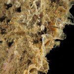 plumularia 47 150x150 Halocordyle disticha   Plumularia