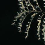 plumularia 61 150x150 Halocordyle disticha   Plumularia