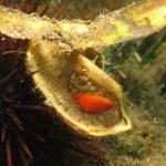 polisincrato 22 150x150 Ascidia polisincrato