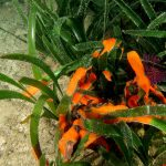 polisincrato 55 150x150 Ascidia polisincrato