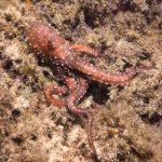 polpessa 03 150x150 Octopus macropus, Polpessa