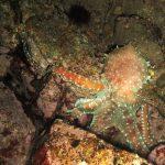 polpessa 06 150x150 Octopus macropus, Polpessa