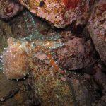 polpessa 07 150x150 Octopus macropus, Polpessa