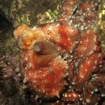 polpessa 10 150x150 Octopus macropus, Polpessa