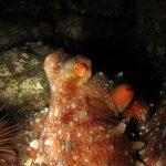 polpessa 11 150x150 Octopus macropus, Polpessa