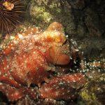polpessa 12 150x150 Octopus macropus, Polpessa