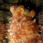 polpessa 13 150x150 Octopus macropus, Polpessa
