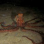 polpessa 14 150x150 Octopus macropus, Polpessa