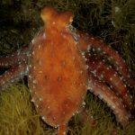 polpessa 17 150x150 Octopus macropus, Polpessa