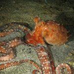 polpessa 20 150x150 Octopus macropus, Polpessa