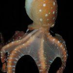 polpessa 23 150x150 Octopus macropus, Polpessa