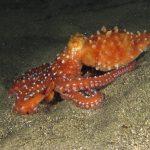 polpessa 26 150x150 Octopus macropus, Polpessa