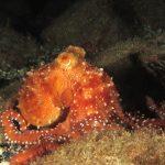 polpessa 27 150x150 Octopus macropus, Polpessa