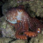 polpessa 32 150x150 Octopus macropus, Polpessa
