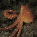 polpessa 38 150x150 Octopus macropus, Polpessa