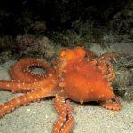 polpessa 39 150x150 Octopus macropus, Polpessa