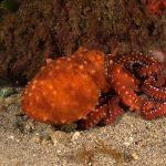 polpessa 41 150x150 Octopus macropus, Polpessa