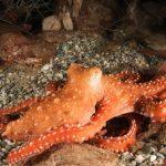 polpessa 44 150x150 Octopus macropus, Polpessa
