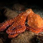 polpessa 45 150x150 Octopus macropus, Polpessa
